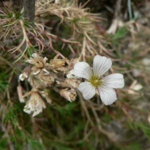 Cherleria laricifolia subsp. diomedis (Braun-Blanq.) A.J.Moore & Dillenb. (Minuartie de Diomède)
