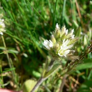 Photographie n°20880 du taxon Cerastium glomeratum Thuill.