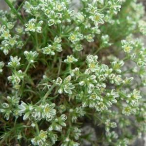 Photographie n°20882 du taxon Scleranthus perennis L.