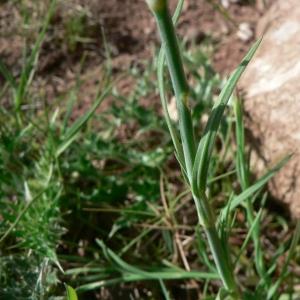 Photographie n°20883 du taxon Petrorhagia prolifera (L.) P.W.Ball & Heywood