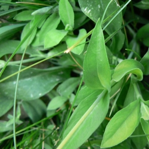 - Silene vulgaris subsp. glareosa (Jord.) Marsden-Jones & Turrill [1957]