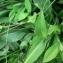 Mathieu MENAND - Silene vulgaris subsp. glareosa (Jord.) Marsden-Jones & Turrill [1957]