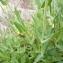 Mathieu MENAND - Silene vulgaris subsp. vulgaris