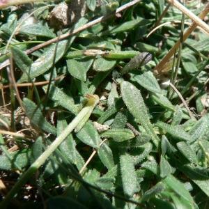 Photographie n°20905 du taxon Silene ciliata Pourr. [1788]