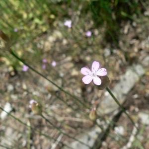 Photographie n°20906 du taxon Petrorhagia prolifera (L.) P.W.Ball & Heywood