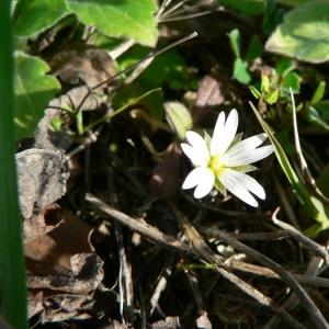 Cerastium pumilum Curtis (Céraiste nain)