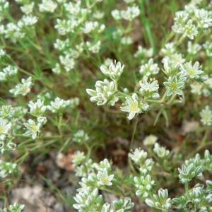Photographie n°20918 du taxon Scleranthus perennis L.