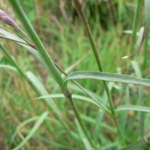 Photographie n°20919 du taxon Dianthus superbus L.