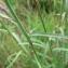 Mathieu MENAND - Dianthus superbus L.