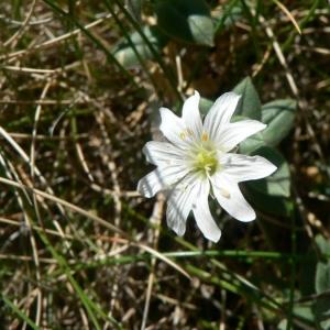 Cerastium pyrenaicum J.Gay (Céraiste des Pyrénées)