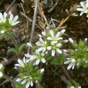 Photographie n°20931 du taxon Cerastium glomeratum Thuill.