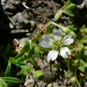 Cerastium uniflorum Clairv. (Céraiste à fleurs solitaires)