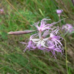 Photographie n°20948 du taxon Dianthus superbus L.