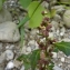 Mathieu MENAND - Chenopodium rubrum L. [1753]