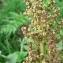 Mathieu MENAND - Chenopodium bonus-henricus L. [1753]