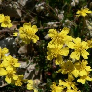 Photographie n°21020 du taxon Helianthemum oelandicum subsp. incanum (Willk.) G.López [1992]