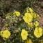 Mathieu MENAND - Helianthemum syriacum (Jacq.) Dum.Cours. [1802]