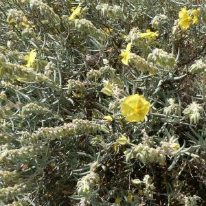 Photographie n°21026 du taxon Helianthemum syriacum (Jacq.) Dum.Cours. [1802]