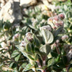 Photographie n°21032 du taxon Helianthemum oelandicum subsp. incanum (Willk.) G.López [1992]