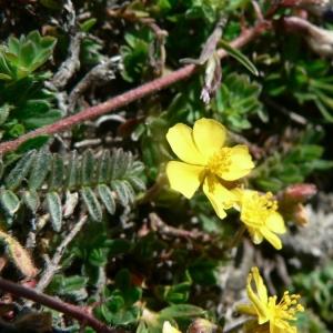 Helianthemum canum var. piloselloides (Lapeyr.) O.Bolòs & Vigo [1974] (Hélianthème fausse piloselle)
