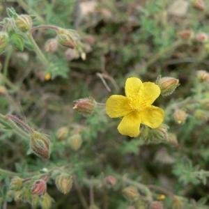 Fumana thymifolia (L.) Spach ex Webb (Fumana à feuilles de thym)