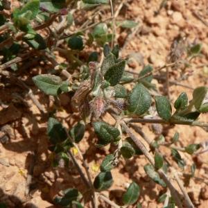 - Helianthemum marifolium (L.) Mill. [1768]