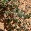 Mathieu MENAND - Helianthemum marifolium (L.) Mill. [1768]