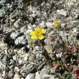 Photographie n°21062 du taxon Helianthemum oelandicum subsp. incanum (Willk.) G.López [1992]