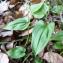 Mathieu MENAND - Maianthemum bifolium (L.) F.W.Schmidt [1794]