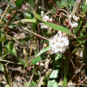 Photographie n°21094 du taxon Cuscuta epithymum (L.) L.