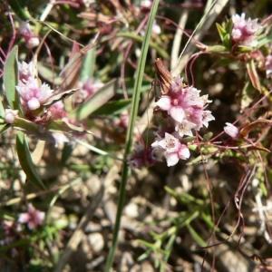 Photographie n°21098 du taxon Cuscuta epithymum (L.) L.
