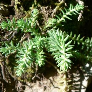 Photographie n°21141 du taxon Sedum rupestre L.