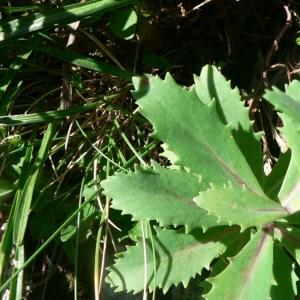 Photographie n°21167 du taxon Sedum telephium subsp. telephium