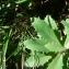Mathieu MENAND - Sedum telephium subsp. telephium
