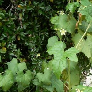 Photographie n°21179 du taxon Bryonia dioica Jacq. [1774]