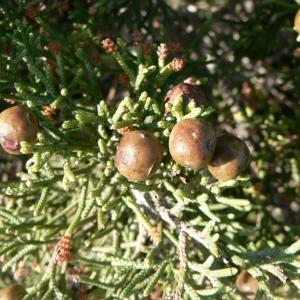 Photographie n°21181 du taxon Juniperus phoenicea L. [1753]