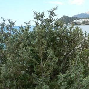 Photographie n°21183 du taxon Juniperus oxycedrus subsp. macrocarpa (Sm.) Ball