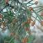 Mathieu MENAND - Juniperus phoenicea L. [1753]
