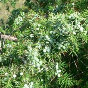 Photographie n°21188 du taxon Juniperus communis L. [1753]