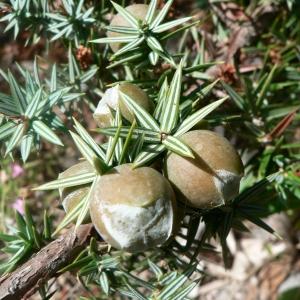 Photographie n°21192 du taxon Juniperus oxycedrus subsp. macrocarpa (Sm.) Ball
