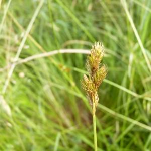 Photographie n°21194 du taxon Carex ovalis Gooden.