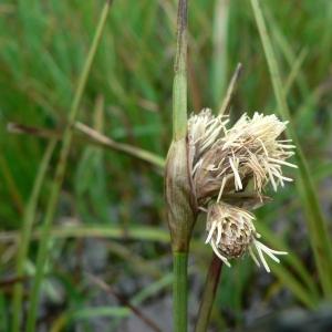 Eriophorum latifolium Hoppe (Linaigrette à larges feuilles)