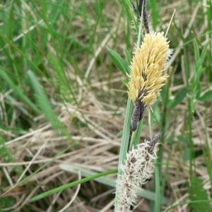 Photographie n°21225 du taxon Carex flacca Schreb. [1771]