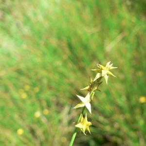 Photographie n°21235 du taxon Carex echinata Murray [1770]