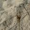 Mathieu MENAND - Carex arenaria L.