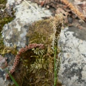 Photographie n°21246 du taxon Carex caryophyllea Latourr. [1785]