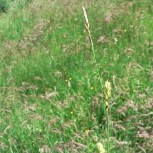 Photographie n°21247 du taxon Carex hirta L.