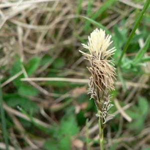 Photographie n°21255 du taxon Carex caryophyllea Latourr. [1785]