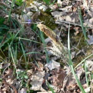 Photographie n°21260 du taxon Carex flacca Schreb. [1771]
