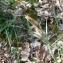 Mathieu MENAND - Carex flacca Schreb. [1771]